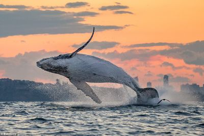 Source: https://www.dailymail.co.uk/news/article-4965690/Humpback-whale-breaches-Sydney-Harbour-sunset.html