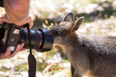 Kangaroo in camera-L.jpg