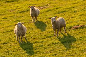 """Golden Sheep"" photo by Markus Trienke"